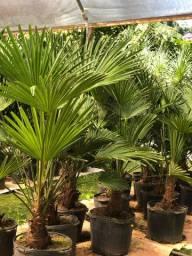 Palmeira moinho do vento anão