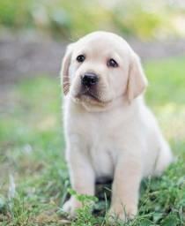 Filhote Labrador Macho e Fêmea com Pedigree e Microchip