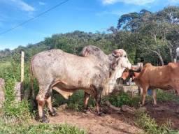 Vendo boi giro puro vaca leiteira giro puro