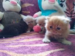 Filhotes persas para reserva