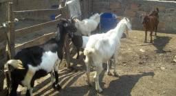 Quatro cabras