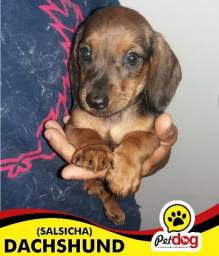Dachshund o famoso Salsicha - Pet Dog Arapirca