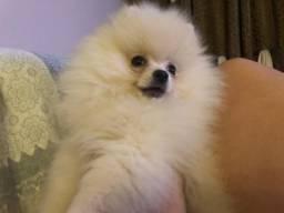 Lulu da Pomerania Filhote anã