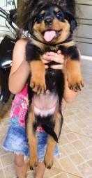 Filhotes de Rottweiler! Nascimento 09/10/2020