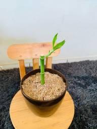 Bambu na sorte no vaso