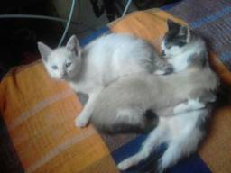 Gatos machos de 2 meses e meio - URGENTE