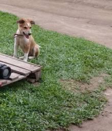 Doando  cachorro