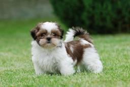 Procuro cachorro da raça Shih Tzu