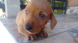 Dachshund macho caramelo olhos azuis