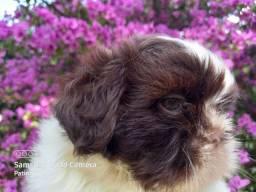 Shih Tzu Mini, Lindo Macho Chocolate,  olhos claros, nariz chocolate # alta linhagem