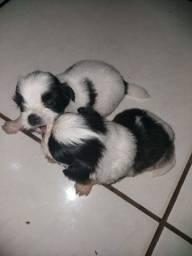 Filhotes macho de lhasa apso