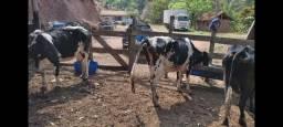 A venda 3 vacas
