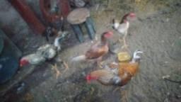 3 galos e 3 galinhas.