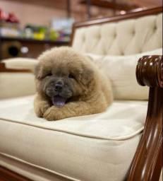 Título do anúncio: Chow chow em 12 x rei dog pet shop