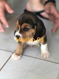 Beagle macho e fêmea ha prona entrega ja vacinados