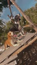 Cachorro beagle com fox serrano