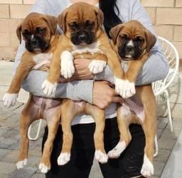 Filhotes fofos de Boxer