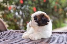 Título do anúncio: Filhotes de mini shihtzu tricolores alto nível
