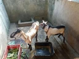 Vendo cabra com bode