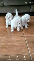 Filhotes, poodle,yorkshire, Lhasa Apso, Shih Tzu