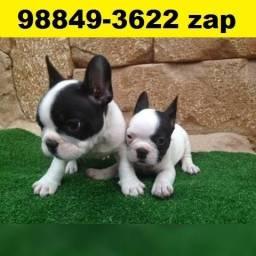 Canil Os Melhores Filhotes Cães BH Bulldog Shihtzu Lulu Poodle Yorkshire Maltês Lhasa