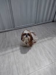 Cachorro Shitu lindo