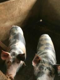 Vendo porcos ligar 98129 1576