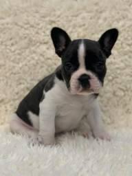 Bulldog francês cores lindas os mais perfeitos de alta linhagem