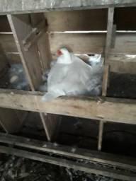 Patos adultos