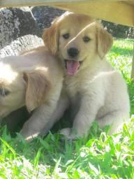Femea Golden Retriever