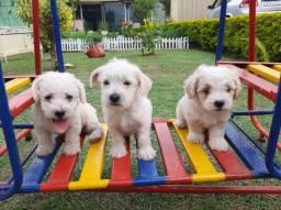 Lindos filhotes de poodle com maltês