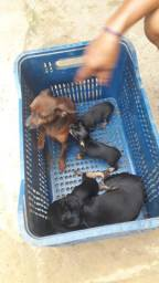 Cachoros a venda