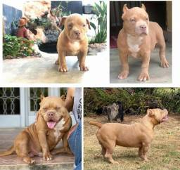 American bully pocket monta