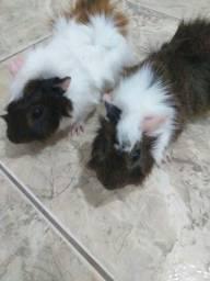 2 Porquinhos da Índia fofos
