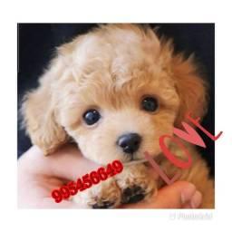 Título do anúncio: Poodle  micro já tá em dia