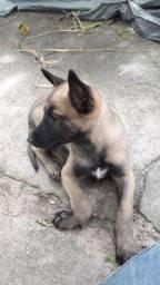 Vendo um filhote de cachorro pastor malonea