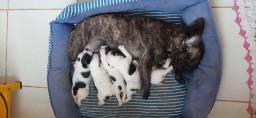 Bulldog francês Filhotes