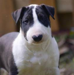 Bull Terrier com garantia