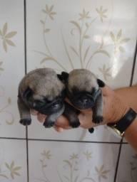 Bebê Pug macho - R$1.000,00