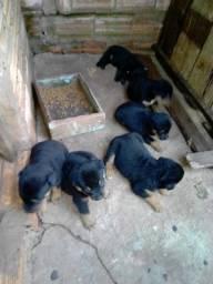 Cachoro Rottweiler