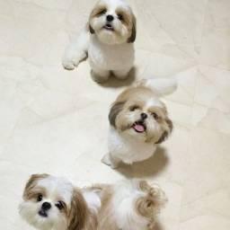 Shih Tzu com garantias e suporte veterinário gratuito, temos 7 clinicas!