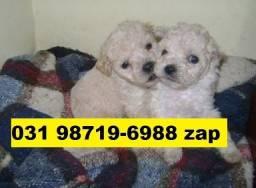 Canil Filhotes Cães Alto Padrão BH Poodle Yorkshire Basset Bulldog Lhasa Maltês Shihtzu