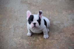 Bulldog francês bem curtinho no padrão top