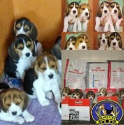 Filhotes de Beagle 13 polegadas !!!