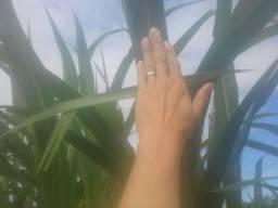Brs capiaçu anapier gigante embrapa