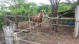 Cavalo 3 anos docil
