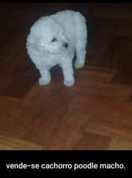 Vende-se cachorro poodle macho,por 350 reias