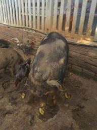Porco pesa mais de 100 kg