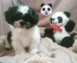 Filhote Shitzu Macho 2 meses