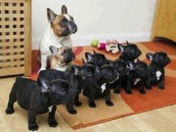 Bulldog Francês porte pequenos ideal para apartamento
